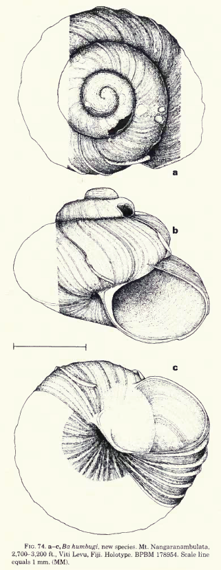 Drawing of the snail Ba humbugi, Figure 74 from Solem 1982 (Endodontoid land snails from Pacific Islands (Mollusca : Pulmonata : Sigmurethra). Fieldiana. Zoology. Special Publications. Part 2. Found via djpmapleferryman's flickr account here: http://www.flickr.com/photos/63319497@N00/3165512961/